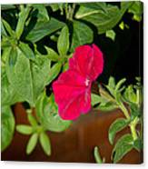 Red Velvet Petunia Canvas Print