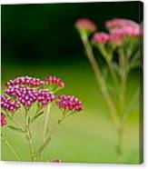 Red Yarrow On Green Canvas Print