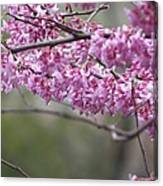 Redbud Tree In Spring Canvas Print