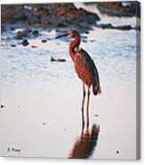 Reddish Egret Basking In The Sunset Canvas Print
