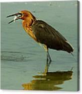 Reddish Egret Caught A Fish Canvas Print