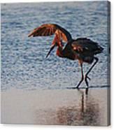 Reddish Egret Doing A Forging Dance Canvas Print