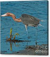Reddish Egret Hunting Canvas Print