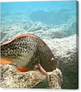 Redlip Parrotfish Canvas Print