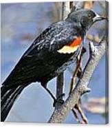 Redwinged Blackbird I Canvas Print