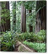 Redwood National Park, California Canvas Print