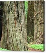 Redwood Trees Art Prints Big California Redwoods Canvas Print