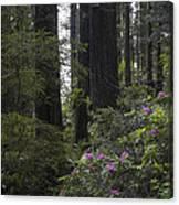 Redwoods 3 Canvas Print