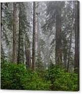 Redwoods In Breaking Mists Canvas Print