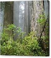 Redwoods In May Canvas Print