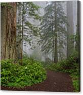 Redwoods Rising In Fog Canvas Print
