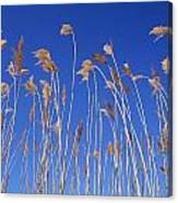 Reed Grass Canvas Print
