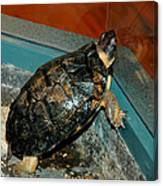 Reflecting Turtle Canvas Print