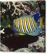 Regal Angelfish In Coral Reef Canvas Print