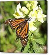 Monarch Butterfly Feeding On A Cluster Of Yellow Flowers Canvas Print