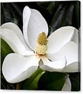 Regal Southern Magnolia Blossom Canvas Print