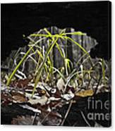 Regrowth Canvas Print
