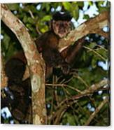 Relaxed - Brown Capuchin Canvas Print