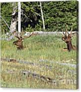 Relaxed Elk Canvas Print