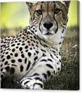 Resting Cheetah Canvas Print