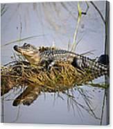 Resting Gator Canvas Print