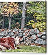 Resting Hereford Canvas Print