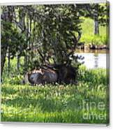 Resting In The Clover Canvas Print