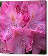 Rhododendron Bloom Canvas Print
