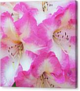 Rhododendron- Hot Pink Canvas Print