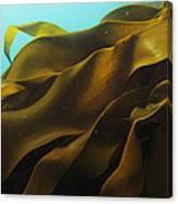 Ribbon Kelp Durvillaea Antarctica Canvas Print