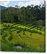 Rice Fields In Agricultural Bali Canvas Print