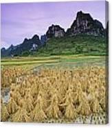 Rice, Yangshuo, Guangxi, China Canvas Print