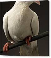 Ring-necked Dove Canvas Print