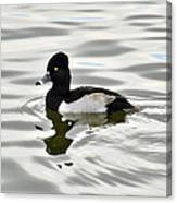 Ring Necked Duck  Canvas Print