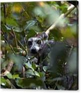 Ring-tailed Lemur In A Tree Canvas Print