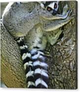 Ring-tailed Lemurs Madagascar Canvas Print