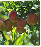 Ripe Fleshy Plums On The Branch Canvas Print