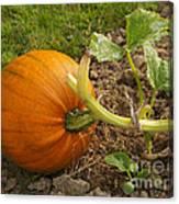 Ripe Pumpkin Canvas Print