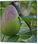 Ripening Pear In Tree Canvas Print
