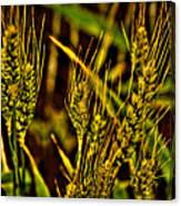Ripening Wheat Canvas Print