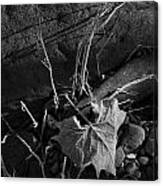 River Bed Sycamore Leaf Canvas Print