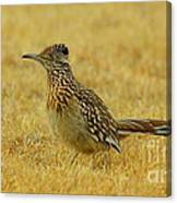 Roadrunner Hen Canvas Print