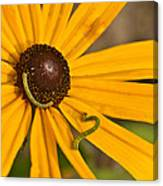 Roadside Daisy And Inch Worms Canvas Print