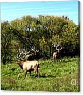 Roaming Elk  Canvas Print