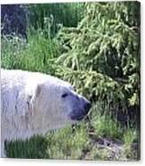 Roaming Polar Bear Canvas Print