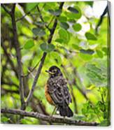 Robin In The Woods Canvas Print