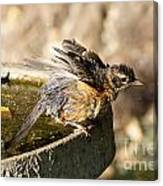 Robin Shaking Water Off Canvas Print