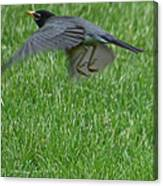 Robin With A Low Level Approach Canvas Print