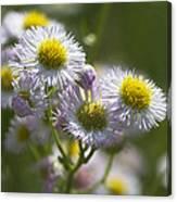 Robin's Plantain - Alabama Wildflowers Canvas Print