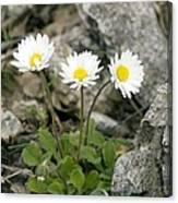 Rock-plant Daisy (bellis Margaraetifolia) Canvas Print